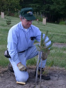 Two-year-old white pine grafted seedling