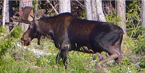 Photo of bull moose