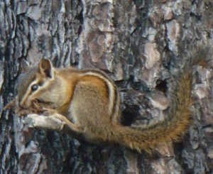 Photo of chipmunk on a pine tree
