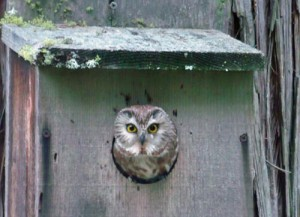 Photo of saw whet owl
