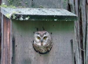 Photo of saw whet owl