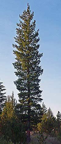 Photo of elite white pine tree