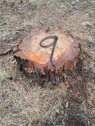 Photo of timber trespass stump, painted and numbered